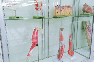 解剖模型の展示(3)