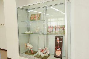 解剖モデルの展示